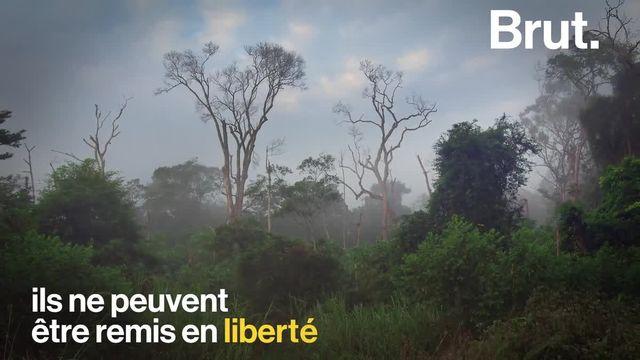 """Des singes de laboratoire envoyés sur une île au Libéria puis abandonnés... Voici l'histoire derrière """"l'île aux singes""""."""