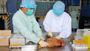 Des employés duCentre for Food Safety of the Food and Environmental Hygiene Department de Hong Kong prélèvent un échantillon sanguin sur un poulet suspecté d'être porteur du virusH7N9, le 11 avril 2013. (EYEPRESS NEWS / AFP)