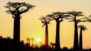 L'allée des baobabs près de Morondova à Madagascar. (JEAN-PHILIPPE DELOBELLE / BIOSPHOTO / AFP)