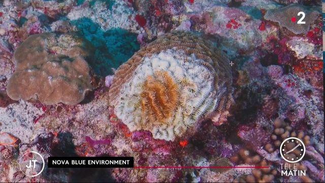 Martinique: les récifs coralliens menacés par une bactérie mortelle