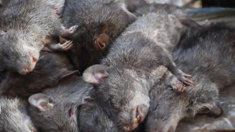 En Inde, le rat est considéré comme un mets raffiné et se vend sur les marchés, surtout en hiver. (FRANCEINFO)