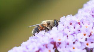 Une abeille sur une fleur, photo prise le 8 juillet 2018 près de Lille. Près de la moitié des insectes sont en voie d'extinction, selon une étude scientifique australienne publiée le 11 février 2019. (DENIS CHARLET / AFP)