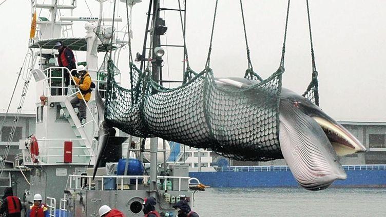 Une baleine est transportée depuis un bateau en mai 2011 sur le port de Kushiro, dans la préfecture d'Hokkaido (Japon). (MINORU SUZUKI / YOMIURI / AFP)