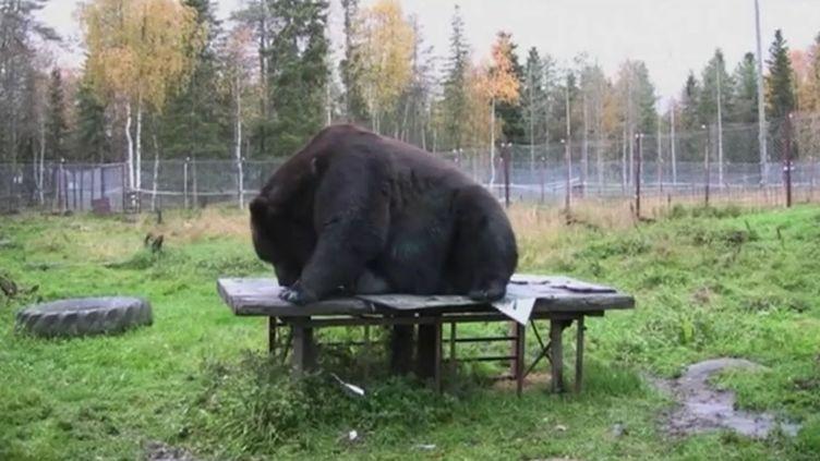 Capture d'écran montrant Juuso, un ours brun dans son parc à Kuusamo, au centre de la Finlande, 2016 (REUTERS)