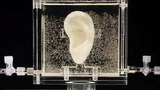 """Réplique biologique de l'oreille gauche de Vincent Van Gogh, œuvre de l'artiste nééerlandaise Diemut Strebe, nommée """"Sugababe"""", exposée à Karlsruhe (Allemagne), le 3 juin 2014. (DIEMUT STREBE / AP / SIPA)"""