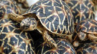 Des tortues étoilées à Hyderabad (Inde), le 4 juillet 2007. (NOAH SEELAM / AFP)
