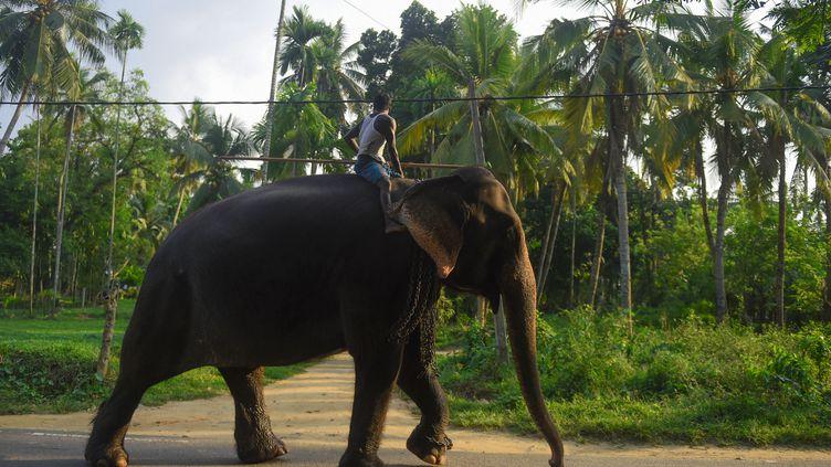 Un homme sur un éléphant au Sri Lanka, le 25 février 2019. (ISHARA S.  KODIKARA / AFP)