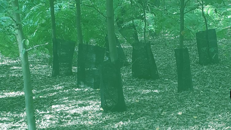 Dans les forêts normandes, les protections des arbres ne sont pas retirées. (DR)