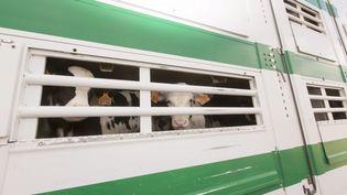 Des bovins en transit. (CHRISTIAN WATIER / MAXPPP)