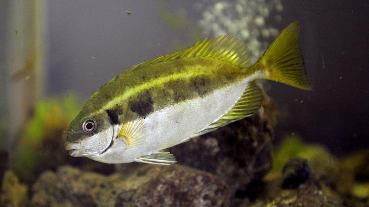 Un poisson-lapin à queue tronquée, une espèce originaire de la mer Rouge. (ANNE-CHRISTINE POUJOULAT / AFP)