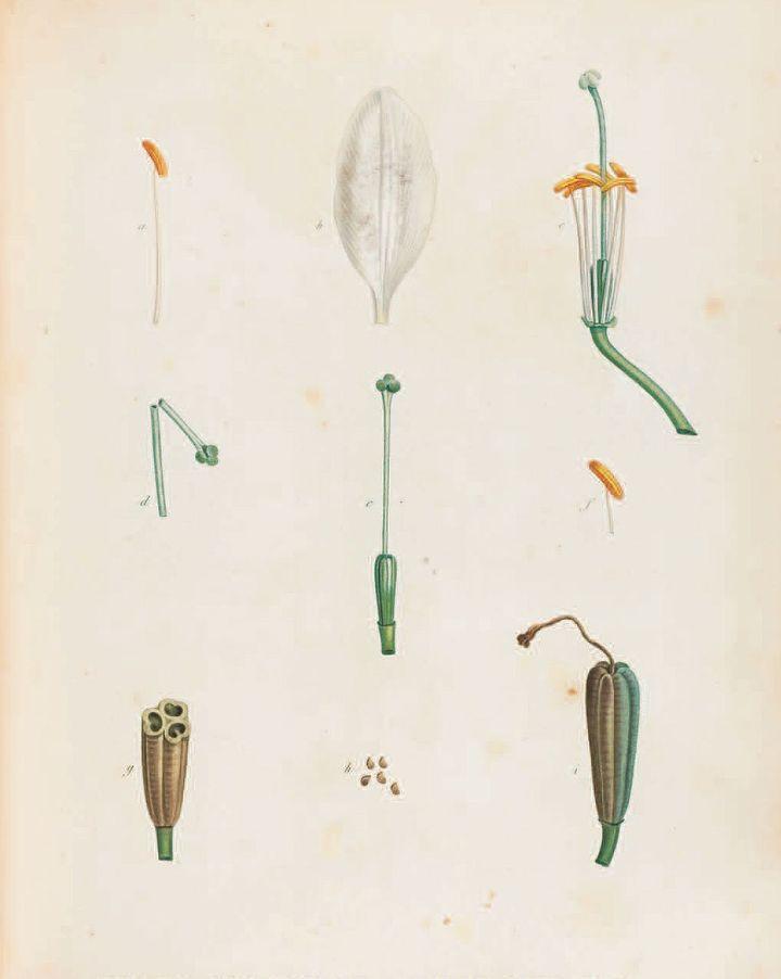 Lis blanc, Pierre-Joseph Redouté  (Puf)