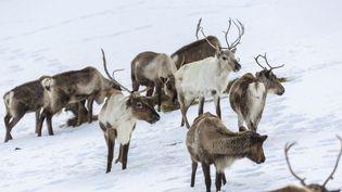 Des rennes, en Laponie (Norvège), le 31 janvier 2013. (SUDRES JEAN-DANIEL / HEMIS.FR / AFP)