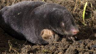 Taupe commune, taupe d'Europe, le mammifèremal-aimé de nos jardins. (LEEMAGE VIA AFP)