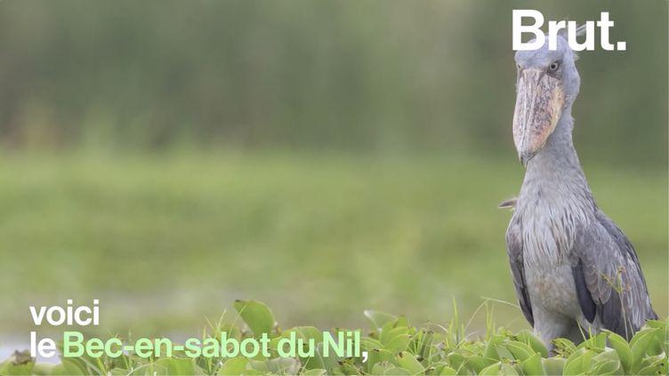 VIDEO. Connaissez-vous le bec-en-sabot du Nil ? (BRUT)