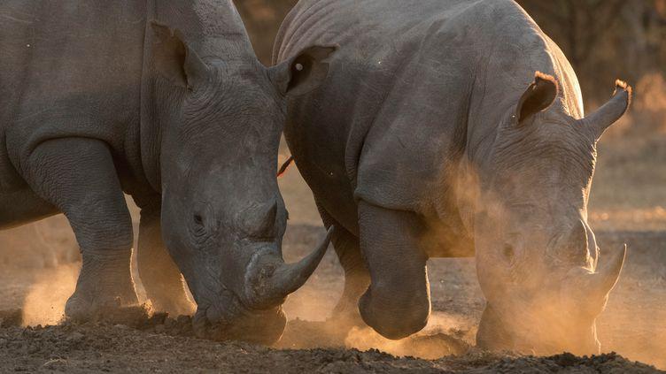 Rhinocéros blancs photographiés le 14 juillet 2017 à Kalahari (Botswana) (AFP - DELTA IMAGES / CULTURA CREATIVE)