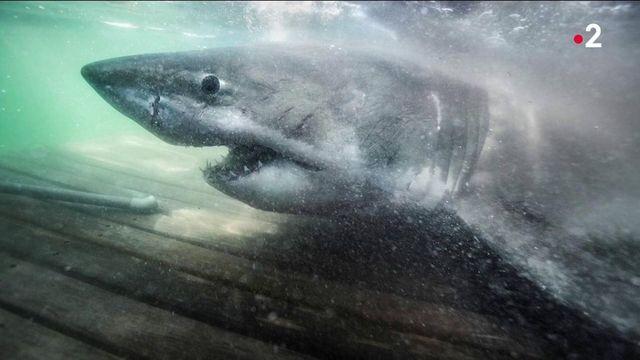 Requin blanc : la grande traversé de Nukumy