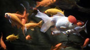Des poissons rouges abandonnés par leurs propriétaires sont placés en quarantaine à l'Aquarium de Paris, le 17 août 2018. (JOEL SAGET / AFP)