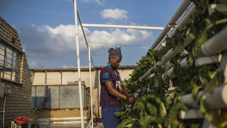 Un homme cultive des épinards sur les toits de Johannesbourg en Afrique-du-Sud. (GUILLEM SARTORIO / AFP)