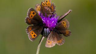Photo d'illustration depapillons sur une fleur. (MAXPPP)