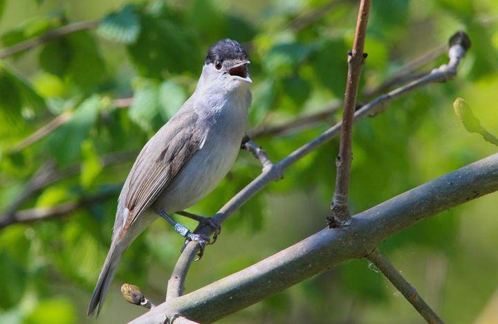 Le mâle de la fauvette à tête noire porte une calotte noire, d'où vient le nom de l'espèce, et la femelle une calotte rousse. On la reconnaît surtout à son chant. (LE POIDESANS / FLICKR)