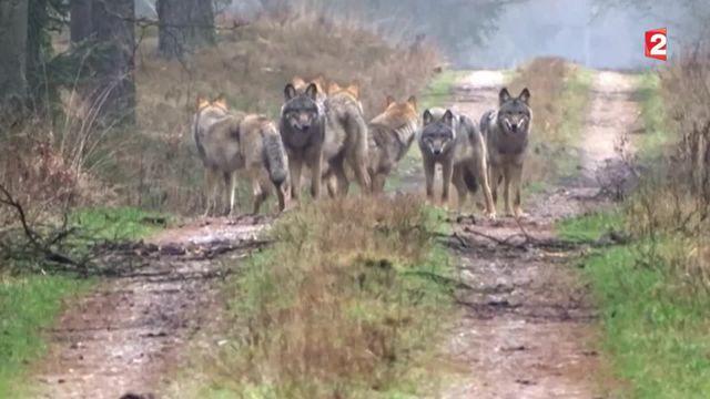 L'Allemagne face à une recrudescence de loups