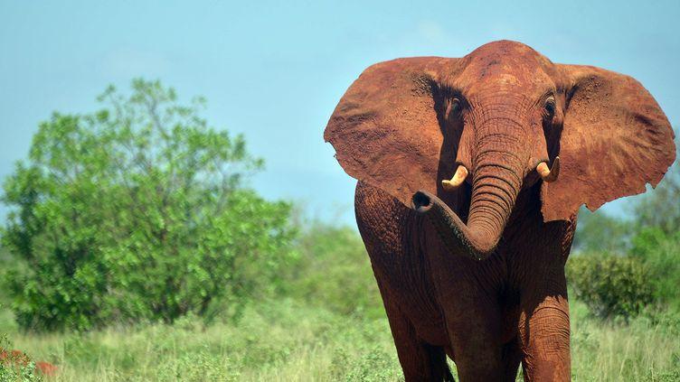 Un éléphant dans le parc de Tsavo au Kenya, le 16 mars 2016. (TONY KARUMBA / AFP)