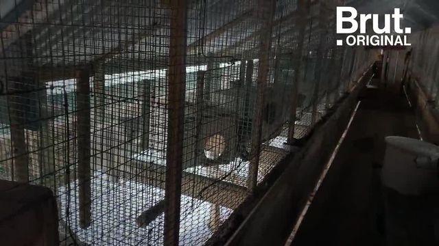 Il y a quelques jours, 14 d'entre eux ont été relâchés dans la nature. Brut s'est rendu sur place.
