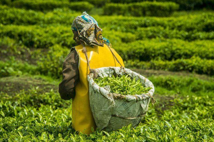 Récolte du thé dans les montagnes des Virunga, au nord-ouest du Rwanda (MICHAEL RUNKEL / ROBERT HARDING PREMIUM / ROBERTHARDING)
