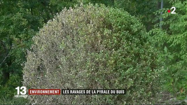 Environnement : les ravages de la pyrale du Buis