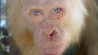 La photo transmise par l'ONG en charge de la survie des orang-outans à Bornéo montre que l'animal a des taches desang séché sous le nez. (BORNEO ORANGUTAN SURVIVAL FOUNDA / AFP)