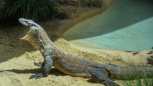 Un dragon de Komodo de trois ans a été transféré du zoo de Los Angeles (Etats-Unis) à celui de Rome (Italie), le 15 mai 2014. (GIORGIO COSULICH / GETTY IMAGES EUROPE)