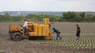 Des ouvriers plantent des salades dans les champs de Montesson dans les Yvelines, le 27 avril 2020 (phto d'illustration). (LUDOVIC MARIN / AFP)