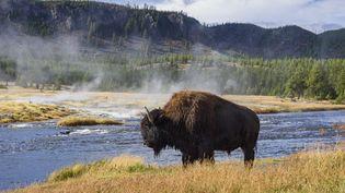 Un bison dans le parc national américain Yellowstone, en septembre 2015. (GARY COOK / ROBERT HARDING PREMIUM / AFP)