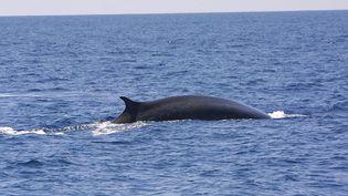 Un cétacé dans le sanctuaire marin Pelagos en mer Méditerranée, entre France, Italie et Sardaigne, le 17 juillet 2004. (MAXPPP)