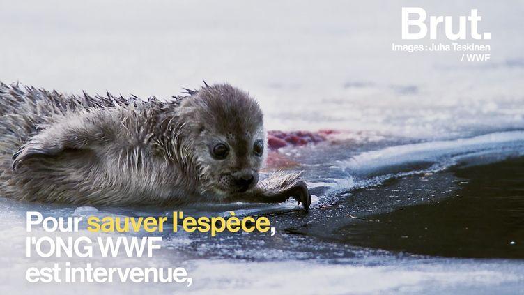 VIDEO. En Finlande, le WWF fait tout pour sauver les phoques du lac Saimaa (BRUT)