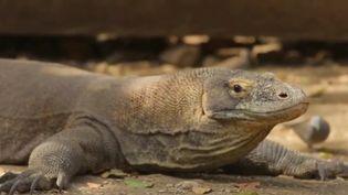 L'île de Komodo, en Indonésie, va être fermée aux touristes pendant un an. Les autorités cherchent à protéger la biodiversité exceptionnelle et les fameux dragons, cibles de certains réseaux de contrebande. (CAPTURE ECRAN FRANCE 2)