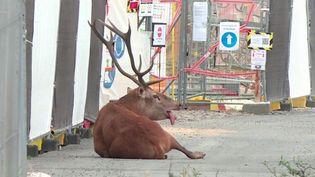 Oise : un cerf traqué par un équipage de chasse à courre trouve refuge dans un chantier (FRANCE 3)