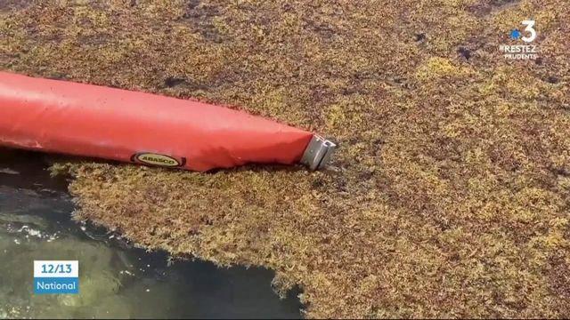 Guadeloupe :  le retour des algues sargasses atténue la joie de la fin du confinement
