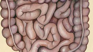 Représentation des intestins humains. (DE AGOSTINI PICTURE LIBRARY)