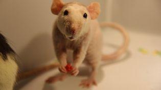 Le Conseil d'Etat a annulé l'interdiction de disséquer des souris en classe, lundi 11 avril. (KAMIL PRYKOWSKI / EYEEM / GETTY IMAGES)