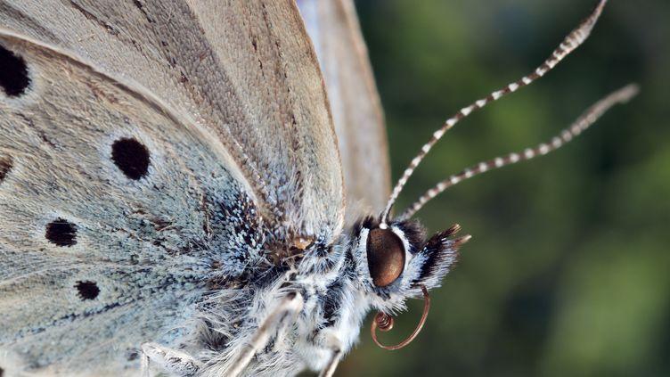 Un papillon bleu de la famille des lycénidés, semblable à ceux quiont souffert de mutations à cause de la radioactivité après la catastrophe de Fukushima (Japon). (BLANCHOT PHILIPPE / HEMIS.FR / AFP)