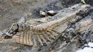 Une photo de l'Institut national d'histoire et d'anthropologie montrantl'excavation d'une queue de dinosaure dans l'Etat de Coahuila, au Mexique, le 22 juillet 2013. (- / INAH)