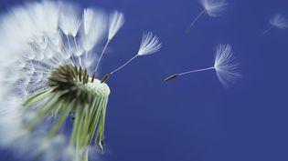 Pissenlit pollen (DIMITRI VERVITSIOTIS / DIGITAL VISION /GETTY)