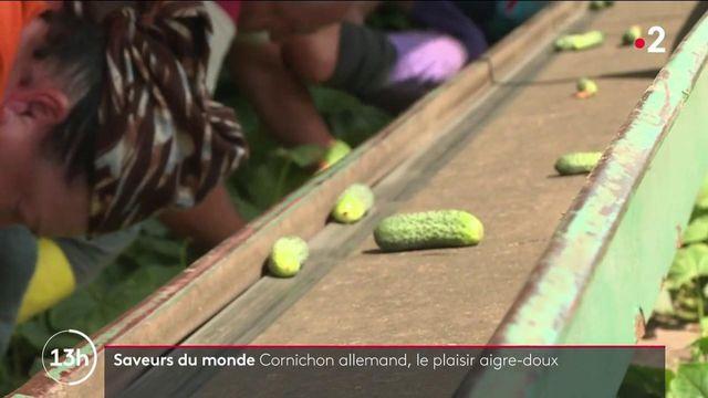 Allemagne : dans la région du Spreewald, la culture abondante du cornichon