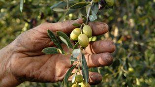 Les producteurs d'olives français ont connu une année catastrophique avec une très maigre récolte. (MAXPPP)