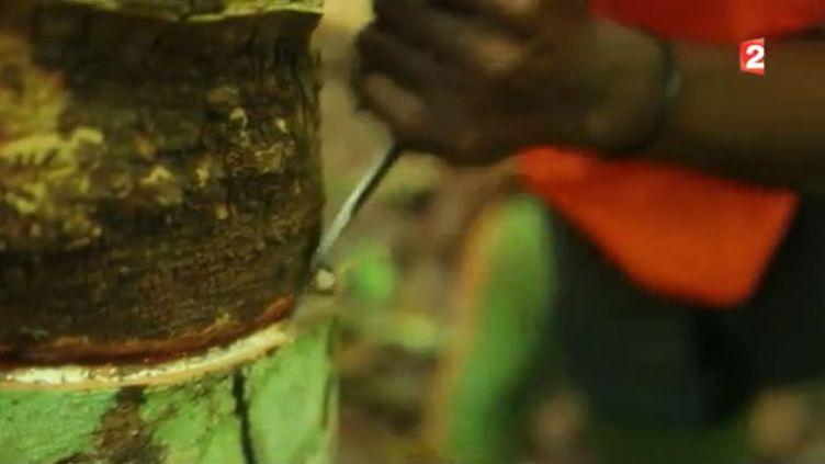 Côte d'Ivoire : le premier producteur africain de caoutchouc vise le marché mondial (FRANCE 2)
