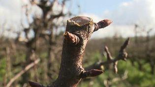 Les petits bourgeons du printemps sont déjà en fleur jeudi 13 février, une situation qui inquiète les arboriculteurs. (France 3)