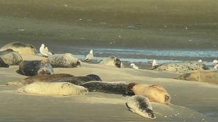 Depuis deux décennies, les phoques, une espèce vulnérable, trouvent refuge sur la côte d'Opale (Pas-de-Calais).  (CAPTURE D'ÉCRAN FRANCE 2)