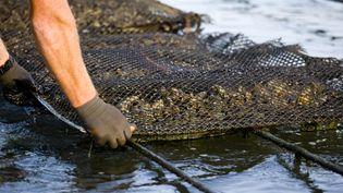 Des coussins d'huîtres sur tables d'élevage dans un parc à huîtres du Bassin d'Arcachon (2018). (PHILIPPE ROY / PHILIPPE ROY)