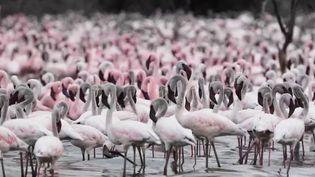 France 2 vous emmène au Kenya pour découvrir un spectacle majestueux. Des milliers de flamants roses se retrouvent sur les lacs de la vallée du Rift, mais la déforestation met en péril ce refuge. (FRANCE 2)
